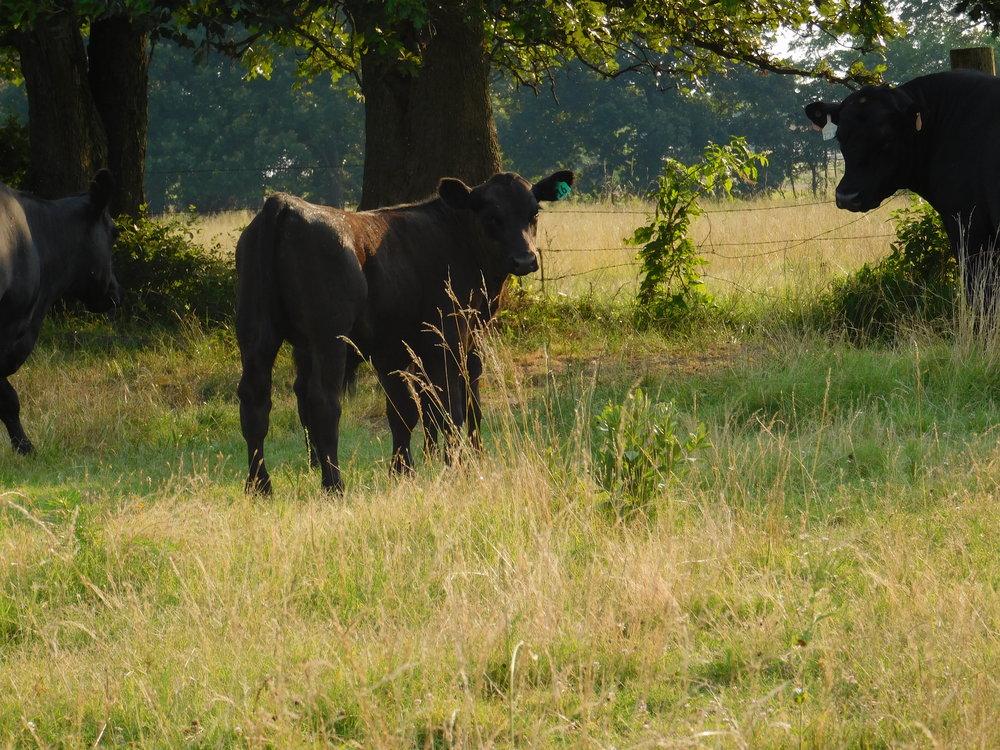 cows-037.jpg