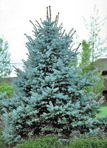 Evergreen Tree cover.jpg