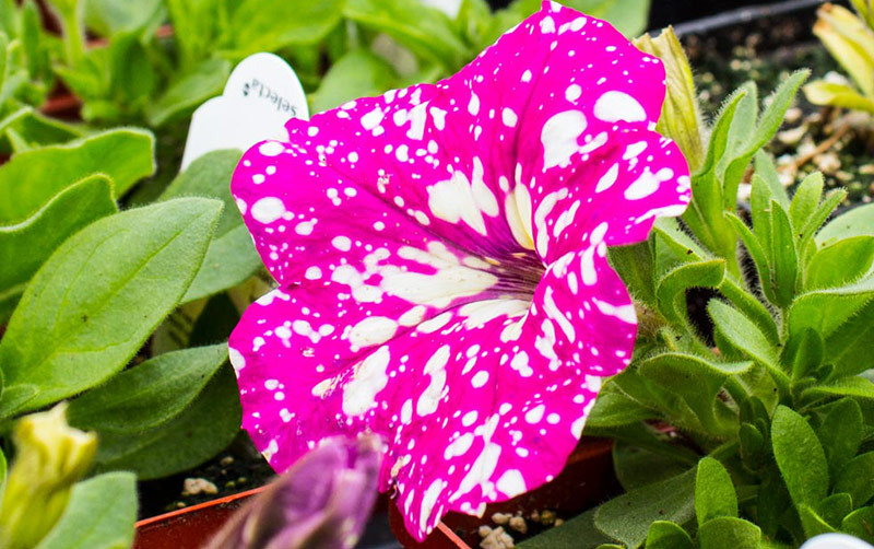 Pink-Sky-Petunia.jpg