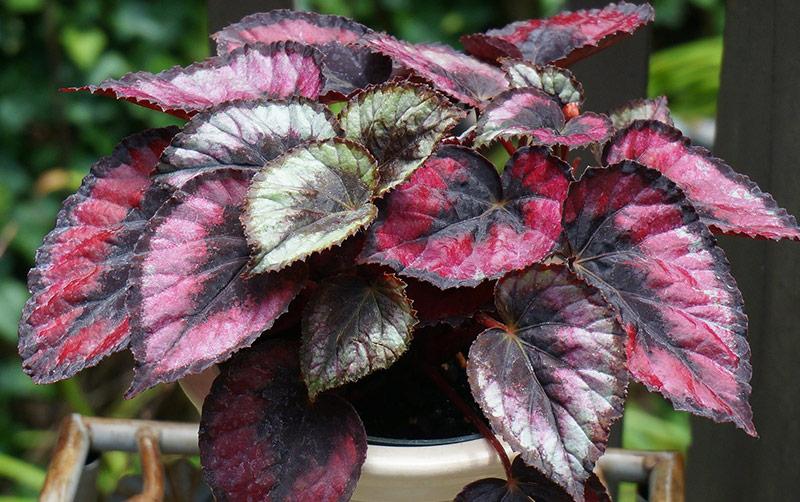 Red-Kiss-Begonia.jpg