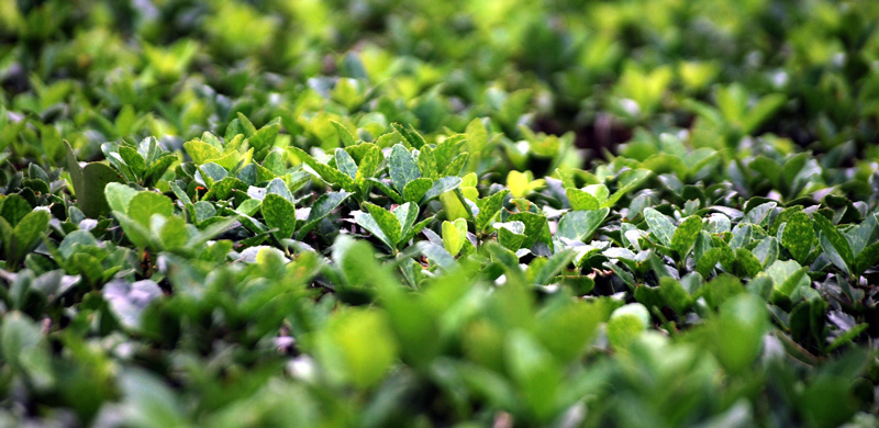 boxwood-shrub.jpg