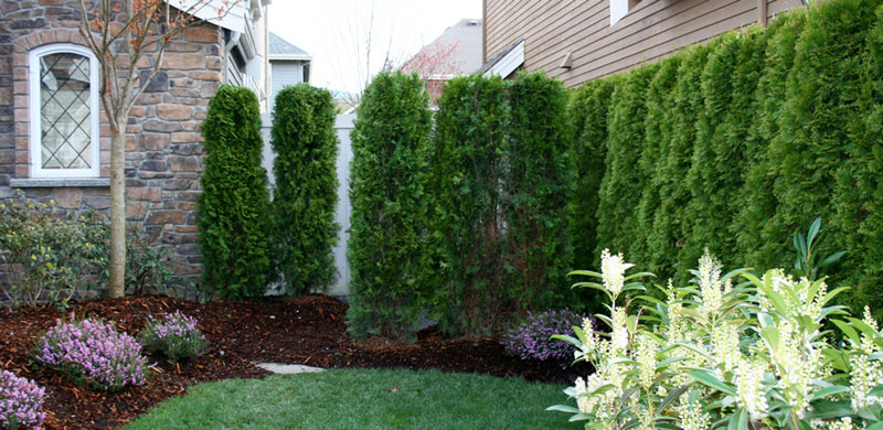 Arborvitae-hedge.jpg