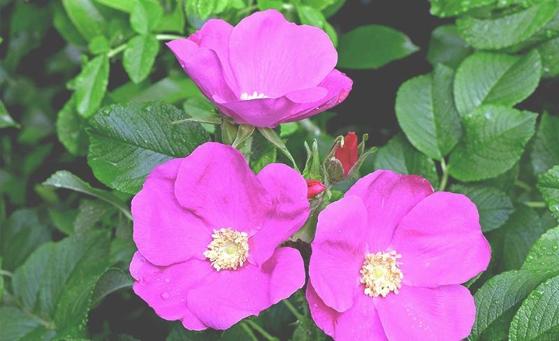 Dammann's-photo-rosebush.jpg