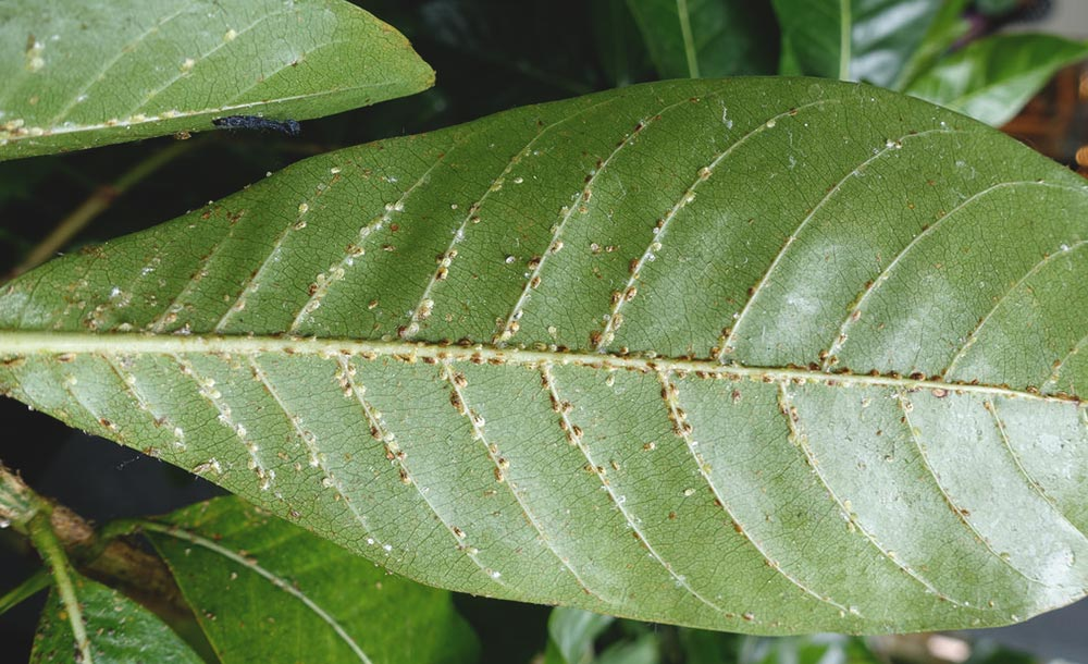 Scale Insects