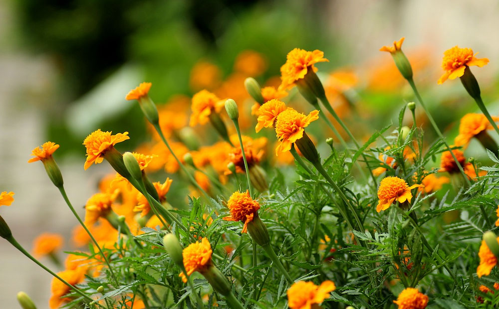 Dammann S Garden Company Plants That Repel Mosquitoes