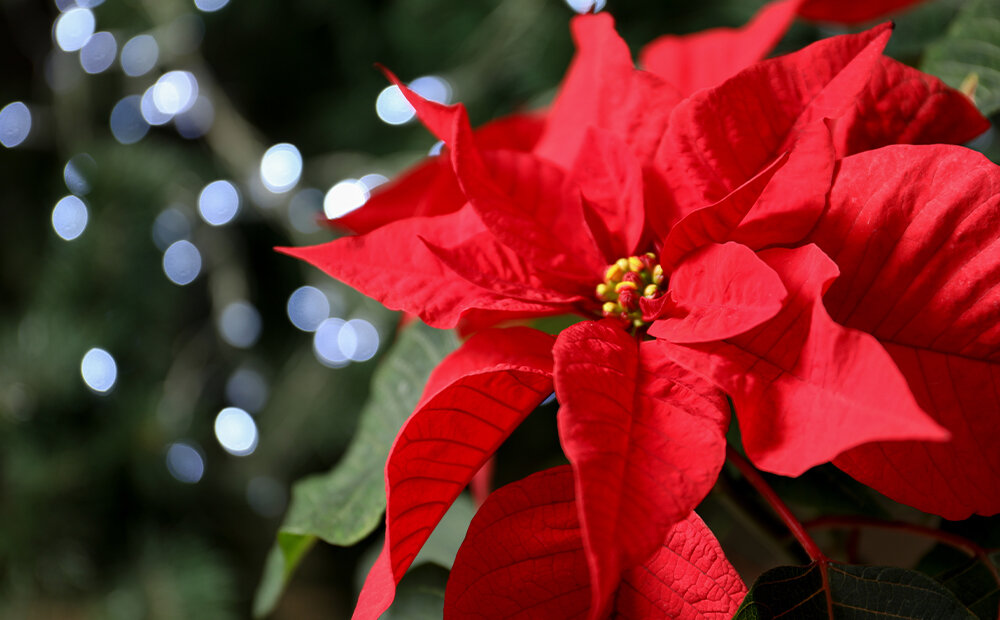 Dammann S Garden Company Poisonous Christmas Plants Myth Vs Fact