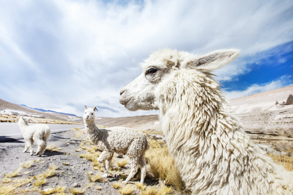 ALPACAS FREELY ROAMING IN THE ANDES MOUNTAINS CAN OFTEN BE MORE ECO-FRIENDLY THAN CASHMERE-PRODUCING GOATS IN CHINA AND MONGOLIA.