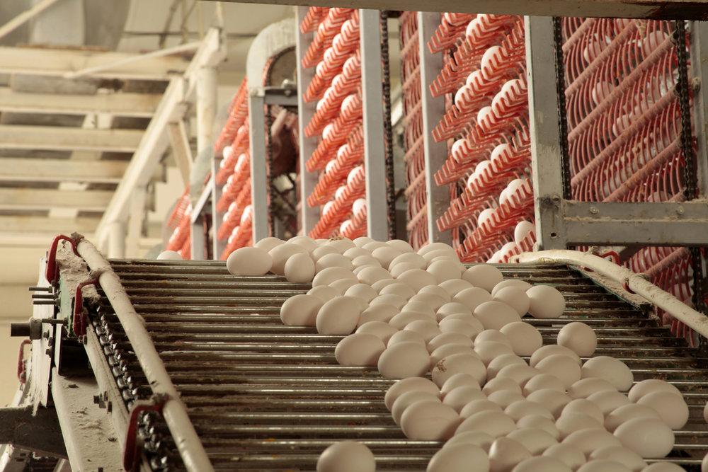 eggs on belt in factory