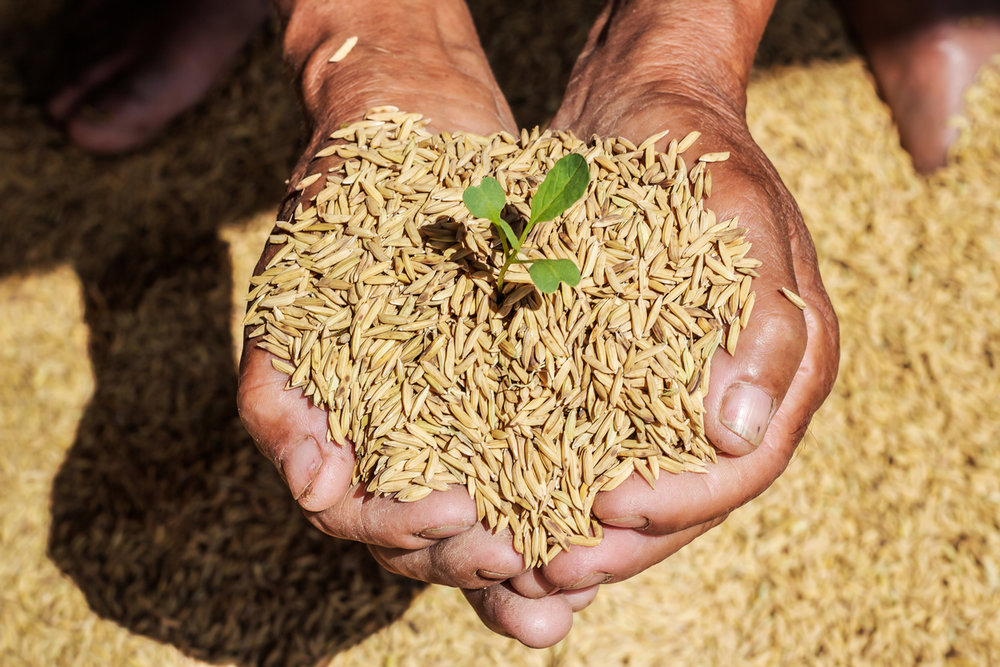 indian hands holding grains