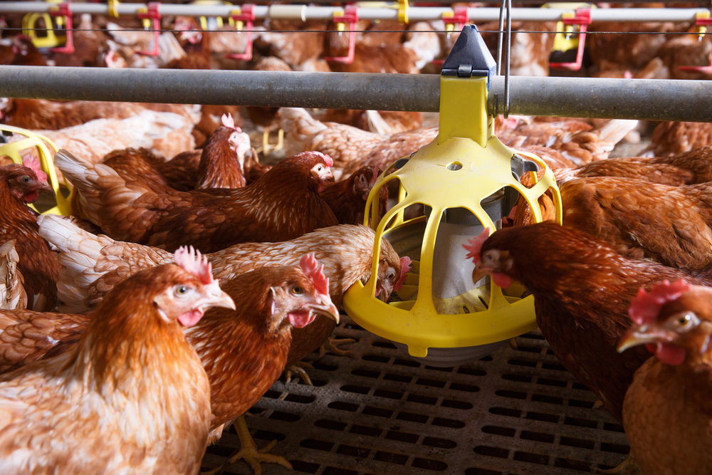cage-free hens eating