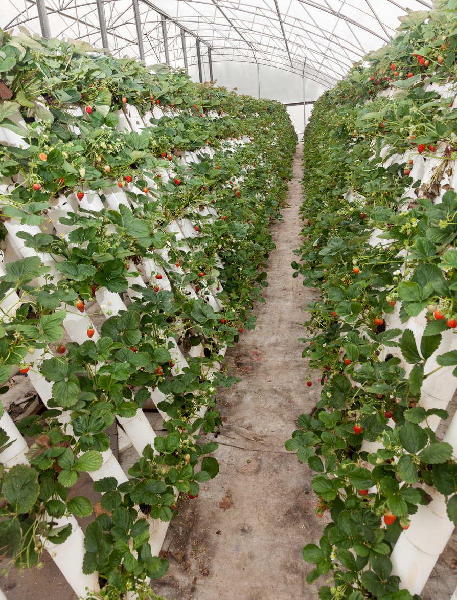 vertical farming stacks of strawberries growing from white tubes
