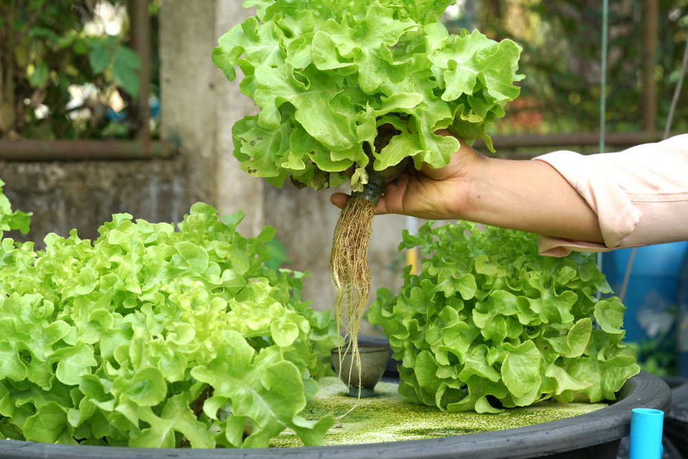 hand holding head of lettuce grown from aquaponics