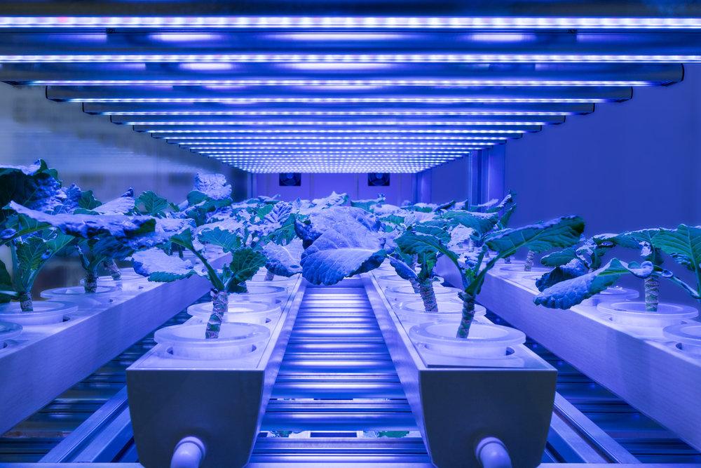 LED lights growing vegetables in vertical farming