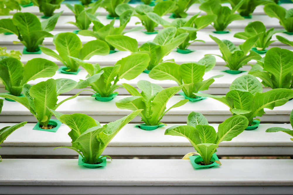 rows of hydroponic lettuce in white tubes