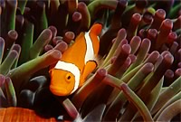 One clown fish.jpg