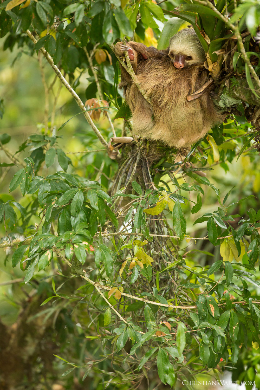 Hoffmann's two-toed sloth ( Choloepus hoffmanni ), Costa Rica