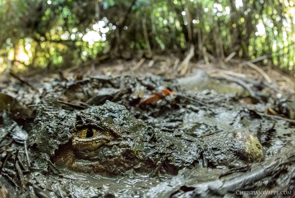 Spectacled caiman ( Caiman crocodilus ), Costa Rica