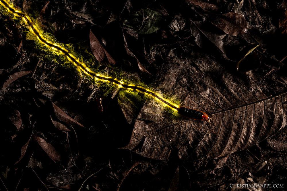 Firefly ( Lamprigera  sp.), Thailand