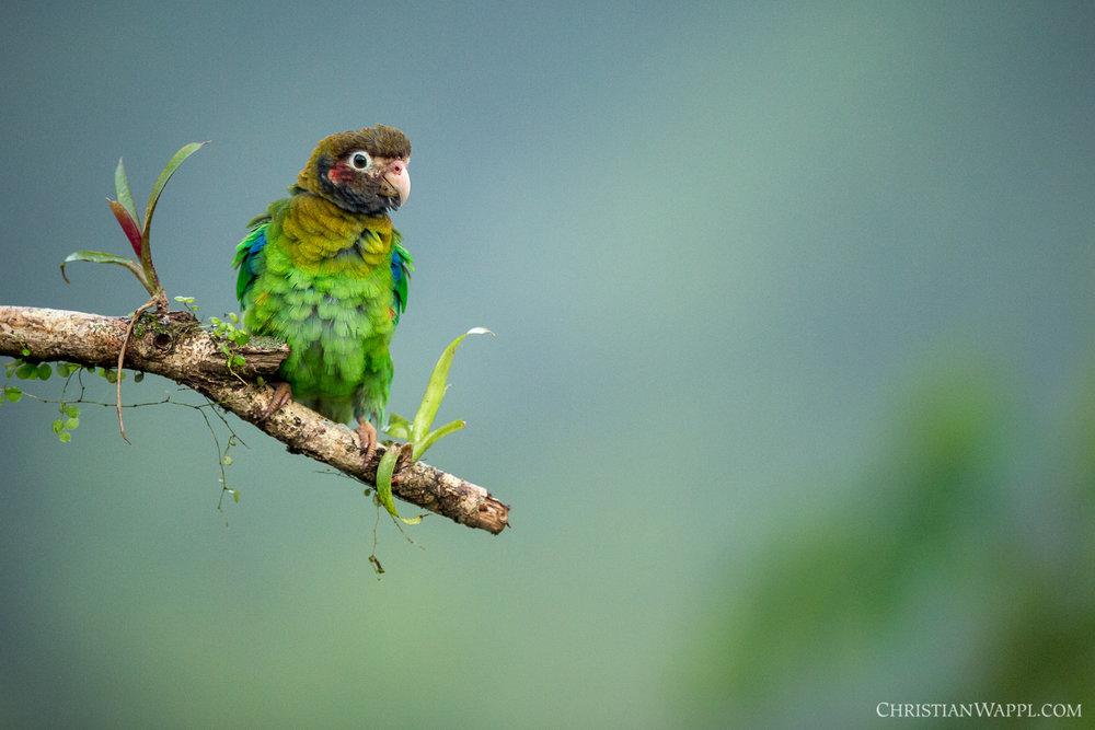 Brown-hooded parrot ( Pyrilia haematotis ), Costa Rica