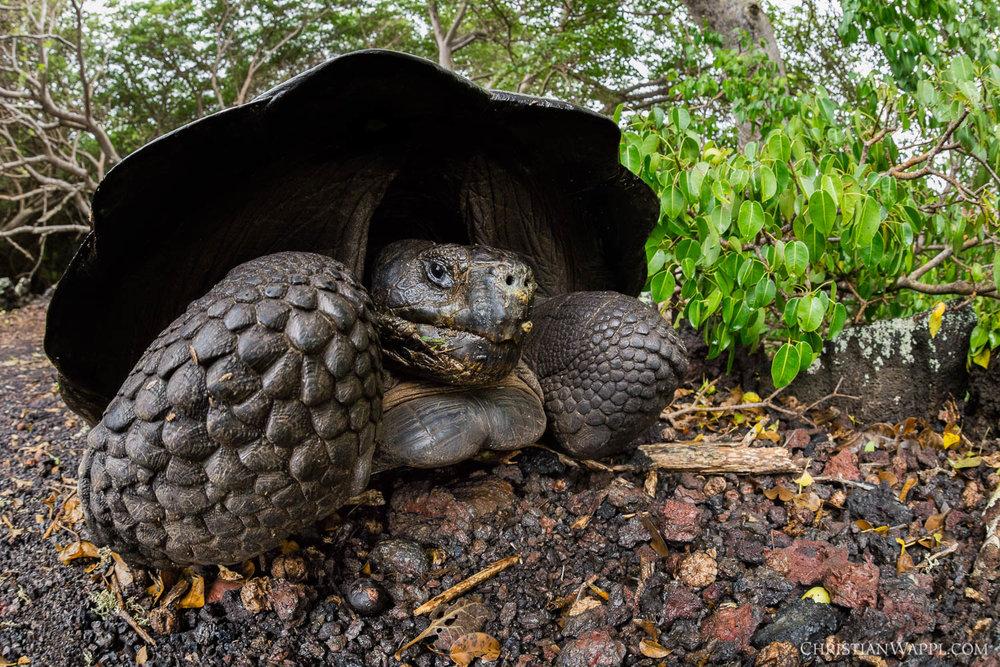 Sierra Negra giant tortoise ( Chelonoidis guentheri ), Galápagos Islands
