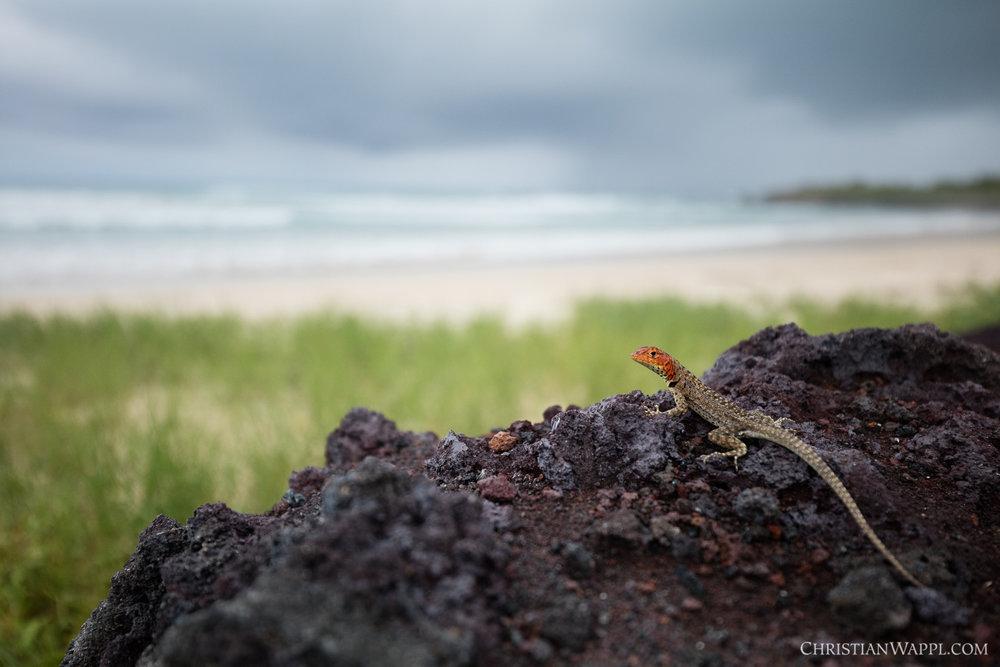 Galápagos lava lizard ( Microlophus albemarlensis ), Galápagos Islands