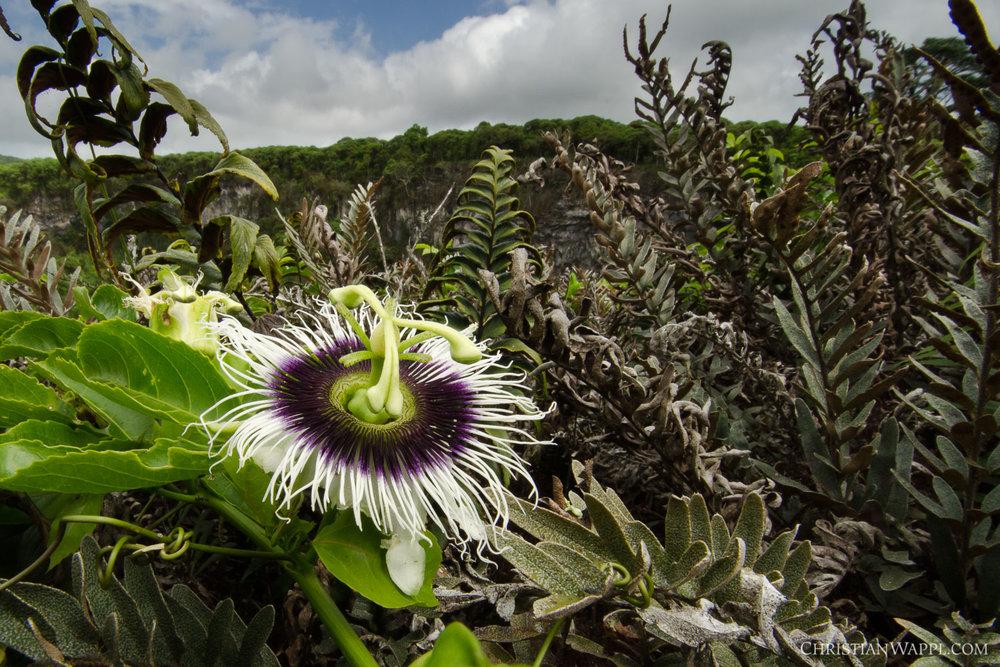 Maracuya ( Passiflora edulis ), Galápagos Islands