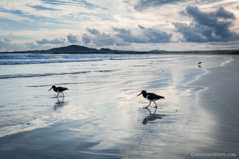 American oystercatchers ( Haematopus palliatus ), Galápagos Islands