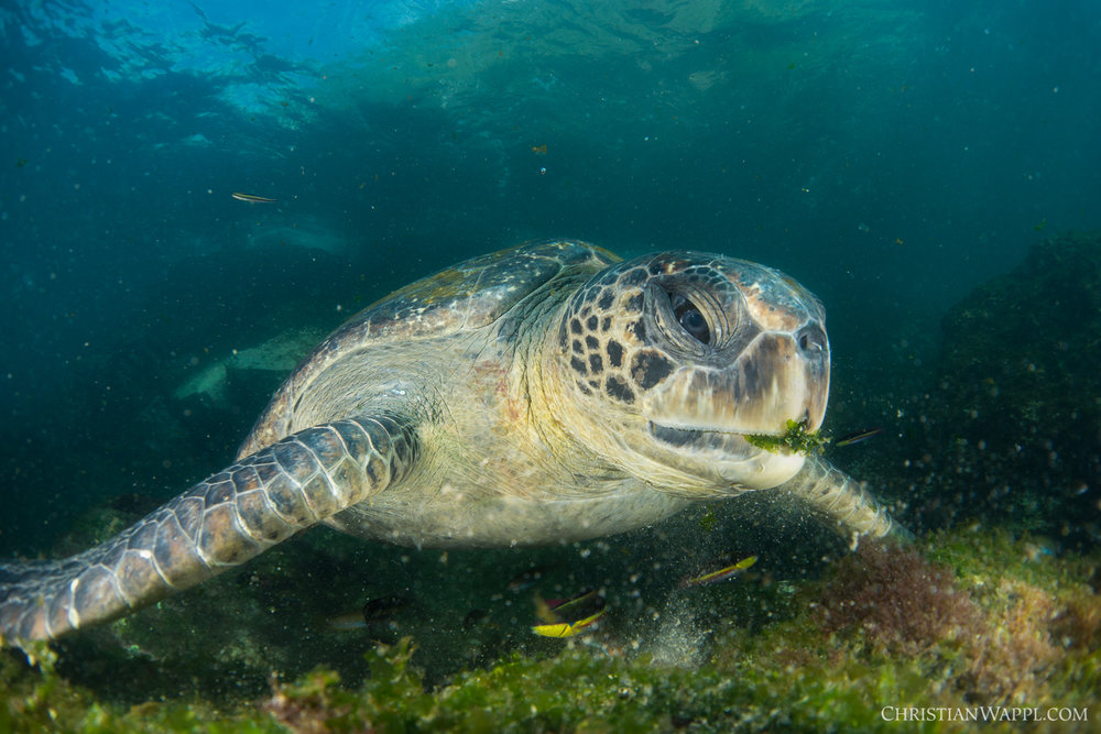 Galápagos green turtle ( Chelonia mydas agassizii ), Galápagos Islands