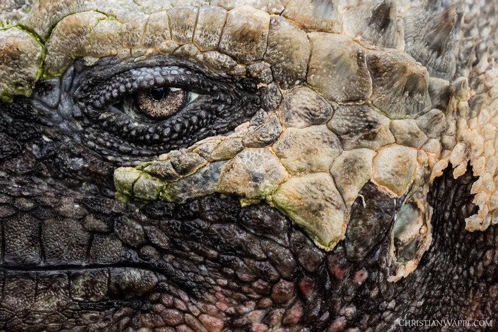 Marine iguana ( Amblyrhynchus cristatus ), Galápagos Islands