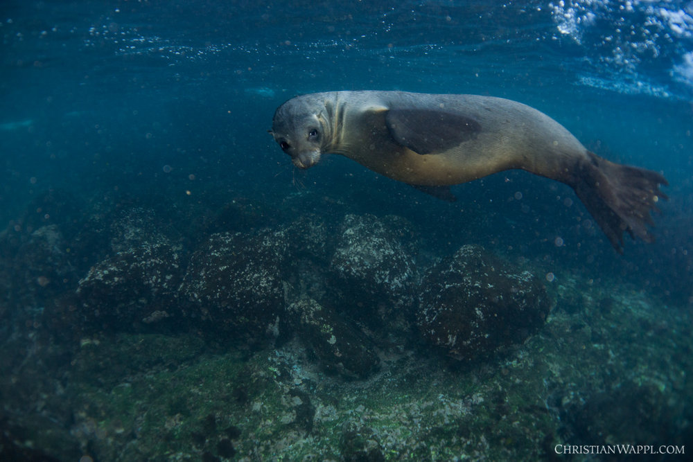 Galápagos sea lion ( Zalophus wollebaeki ), Galápagos Islands