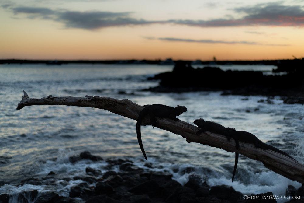Marine iguanas ( Amblyrhynchus cristatus ), Galápagos Islands