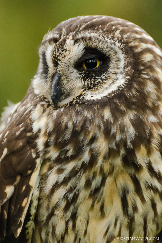 Galápagos short-eared owl ( Asio flammeus galapagoensis ), Galápagos Islands