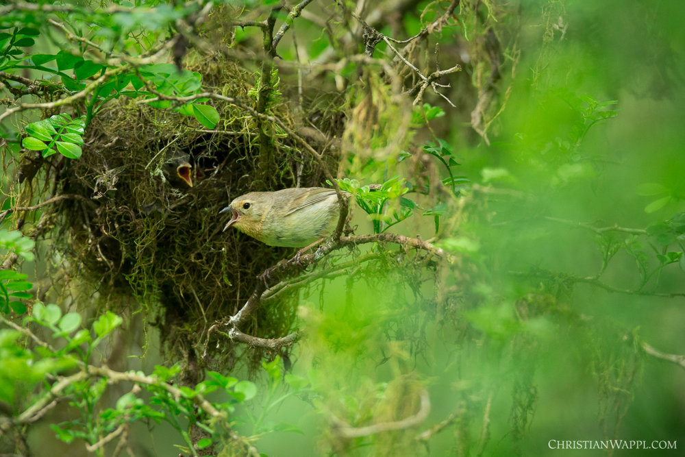 Green warbler finch ( Certhidea olivacea ) at its nest, Galápagos Islands