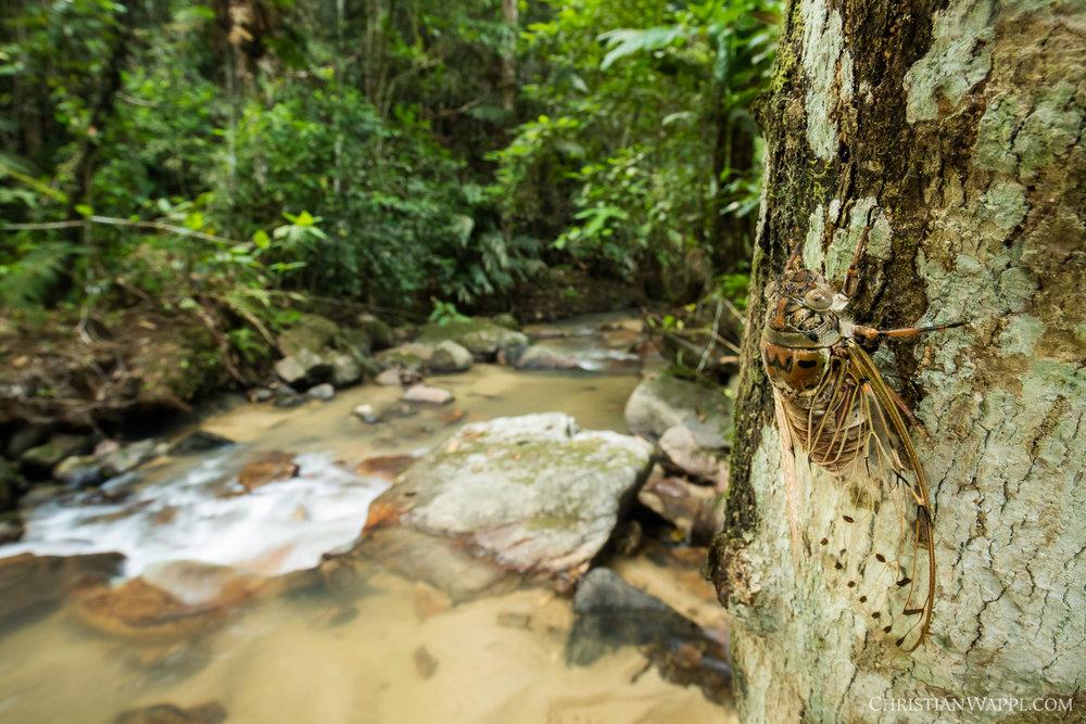 Empress cicada ( Megapomponia imperatoria ), Malaysia