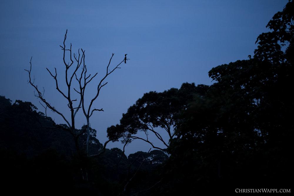 Great hornbill ( Buceros bicornis ), Malaysia
