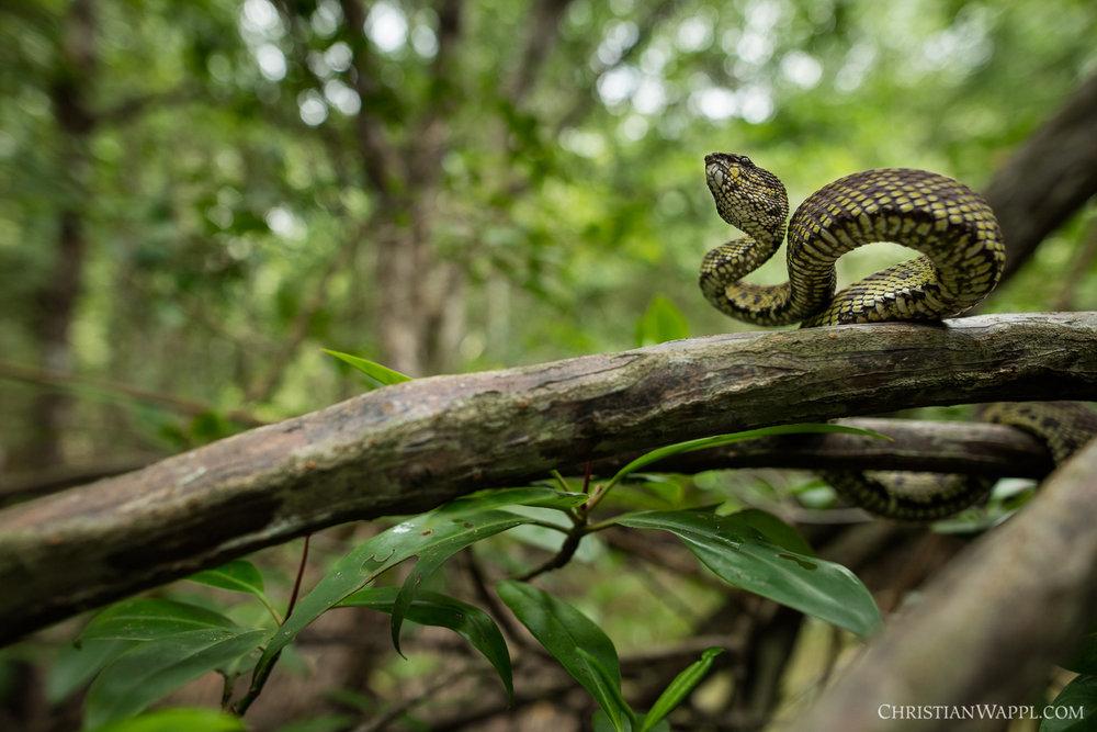 Mangrove pitviper ( Trimeresurus purpureomaculatus ), Thailand