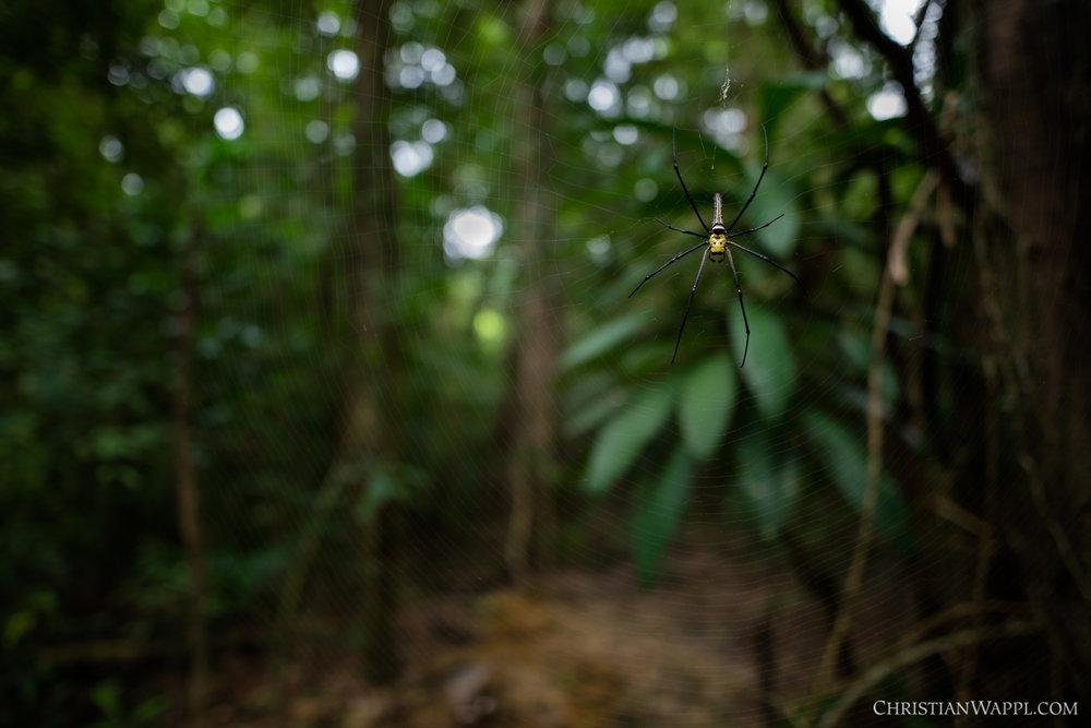 Golden orb weaver ( Nephila pilipes ), Thailand