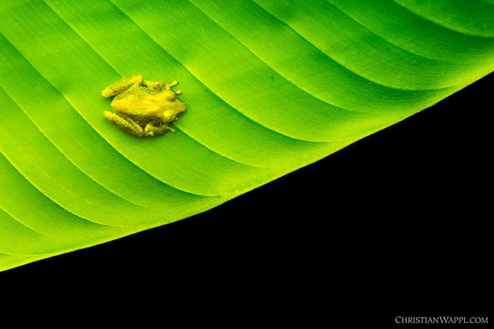 Sipurio snouted treefrog ( Scinax elaeochrous ), Costa Rica
