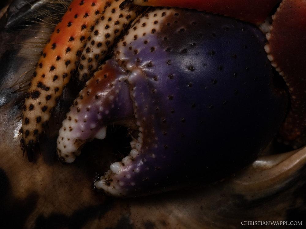 Caribbean hermit crab ( Coenobita clypeatus ), Grenada