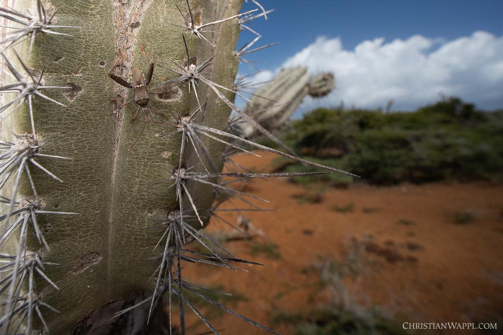 True bug (Heteroptera), Curaçao