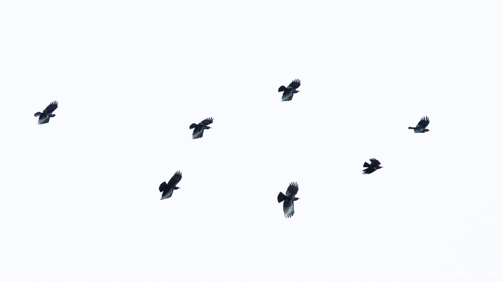 A swarm of red-billed choughs
