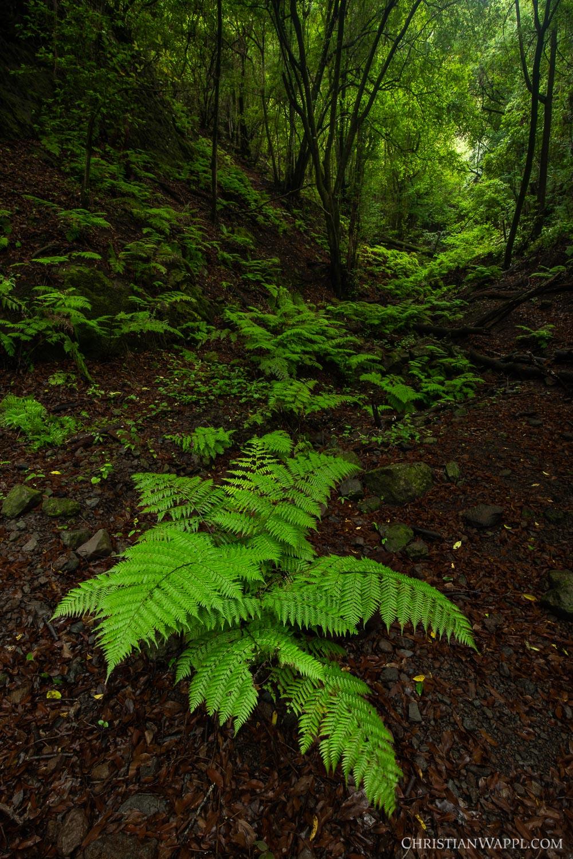Bracken ferns in the laurel forest