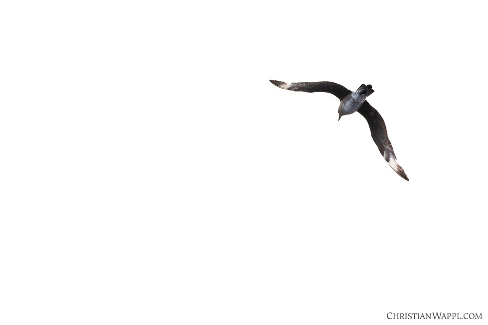 Parasitic jaeger flying by