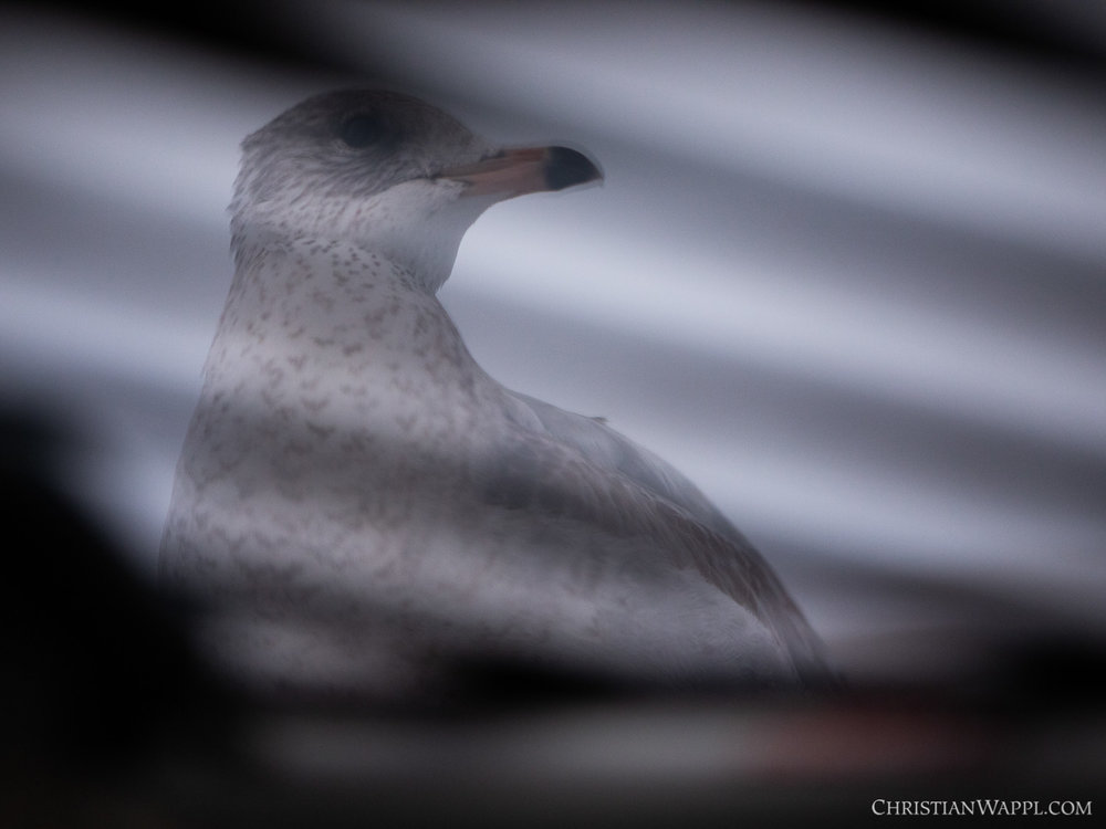 First close-up glimpse of the ring-billed gull