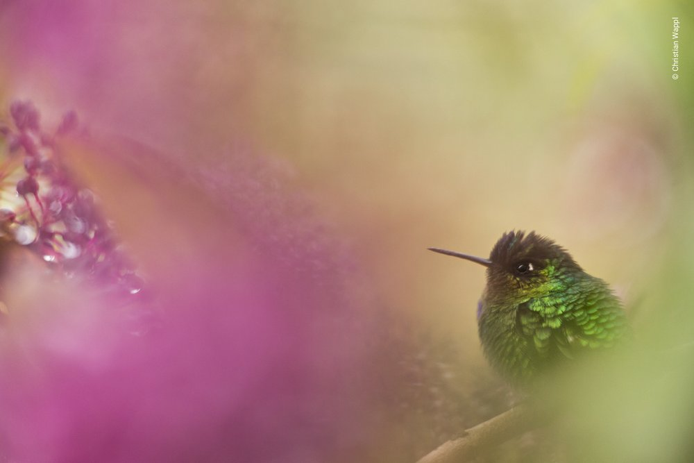 Fiery-throated hummingbird ( Panterpe insignis ), Costa Rica