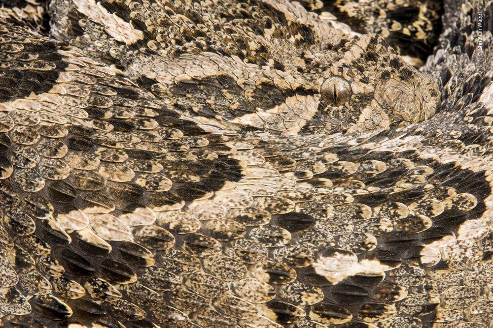 Puff adder ( Bitis arietans ), Morocco