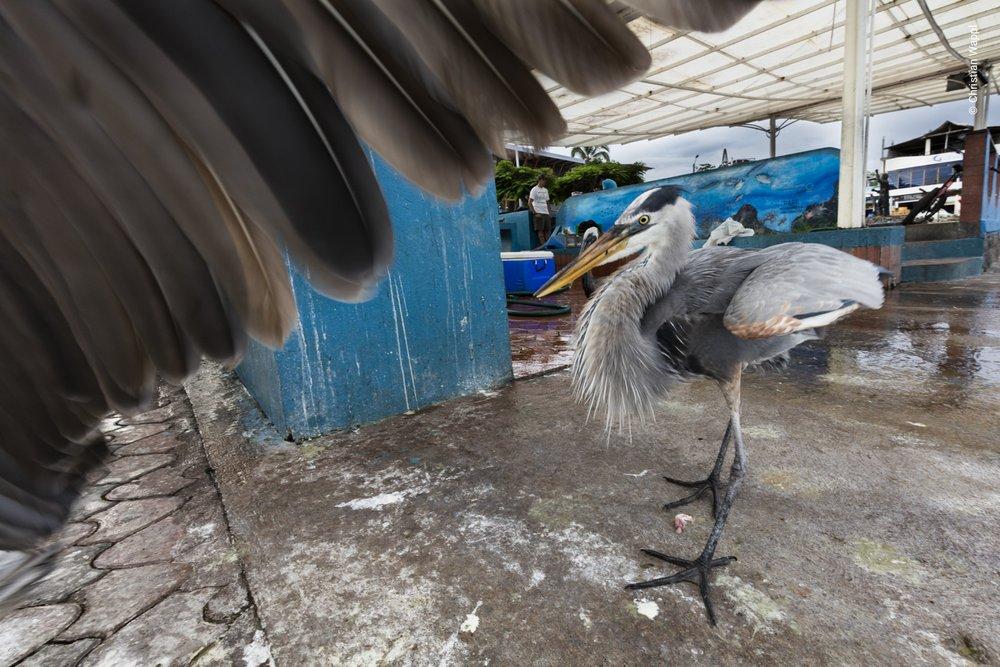 Great blue heron ( Ardea herodias ) fighting a brown pelican ( Pelecanus occidentalis ) for scraps, Galápagos Islands