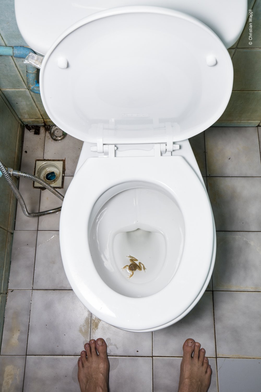 Dark-sided frog ( Sylvirana  cf.  nigrovittata ) in a toilet, Thailand