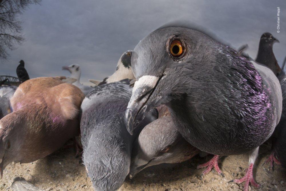 Feral pigeons ( Columba livia domestica ), Austria