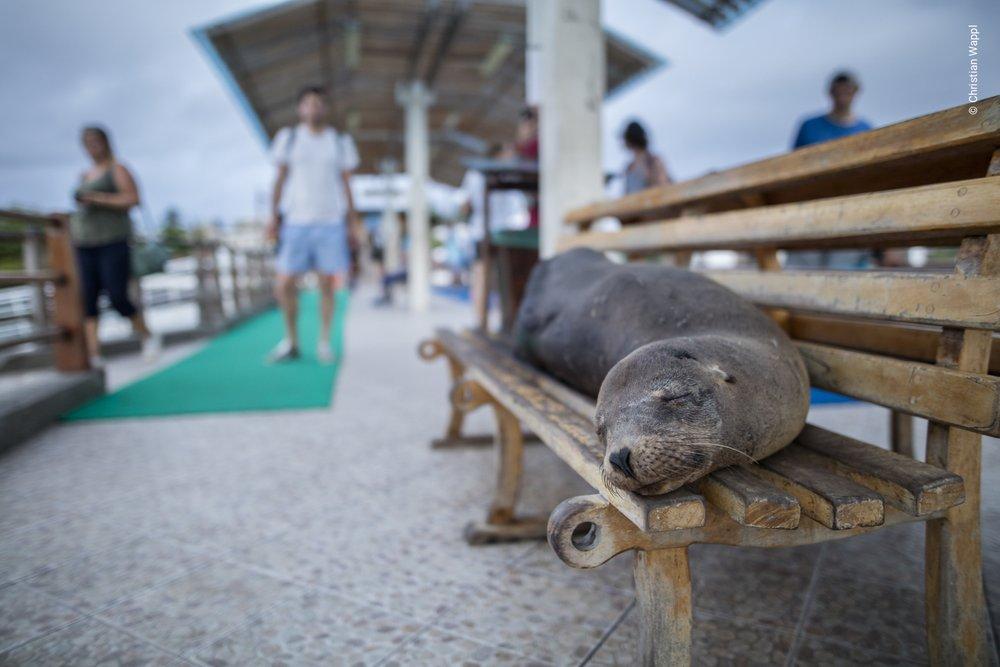 Galápagos sea lions ( Zalophus wollebaeki ), Galápagos Islands